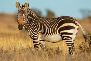 Going Zebra